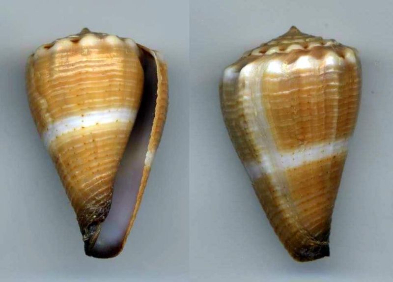 Conus (Splinoconus) parvulus (Link, 1807) Bilios10