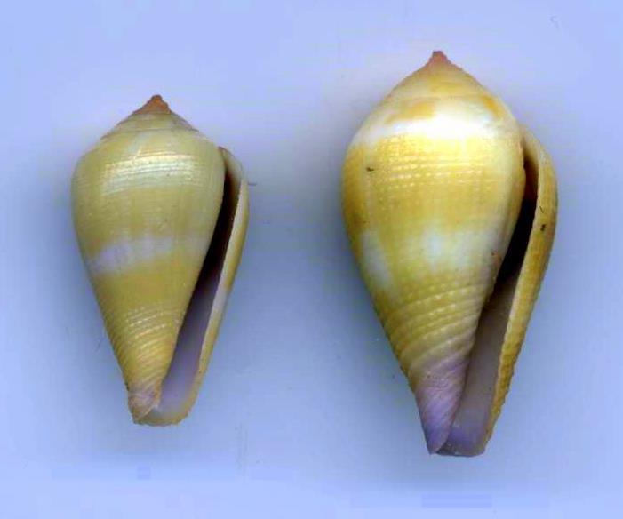 Conus (Leporiconus) scabriusculus  Dillwyn, 1817 Conses10