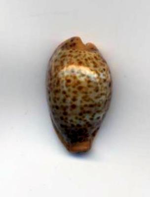 Palmadusta humphreysii yaloka - Steadman & Cotton, 1943 (taxon inquirendum) - Page 2 Humphr10