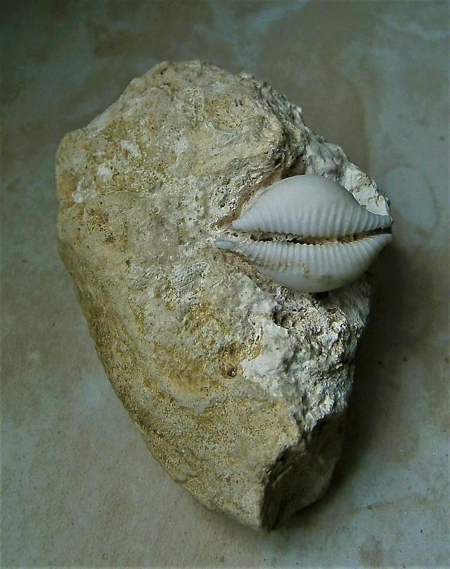 Cypraeidae - † Cypraea (Pustularia) cicercula - (Nouvelle Calédonie - Ile des Pins) Pict0018