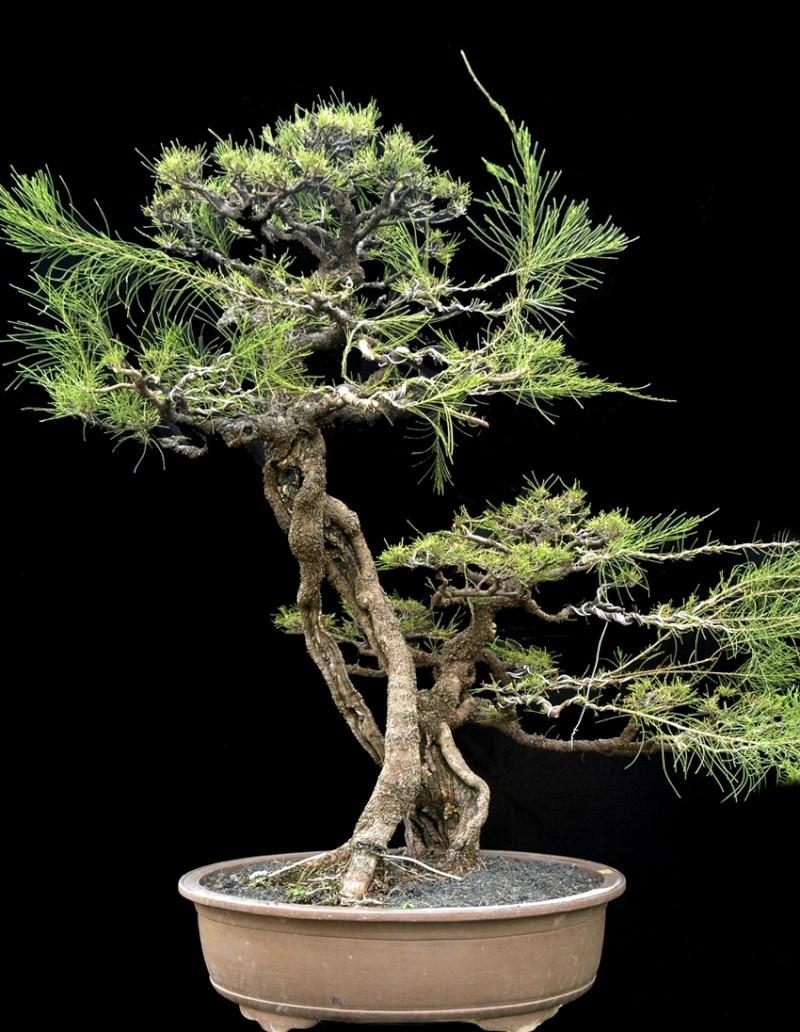 Transformation in bonsai 210