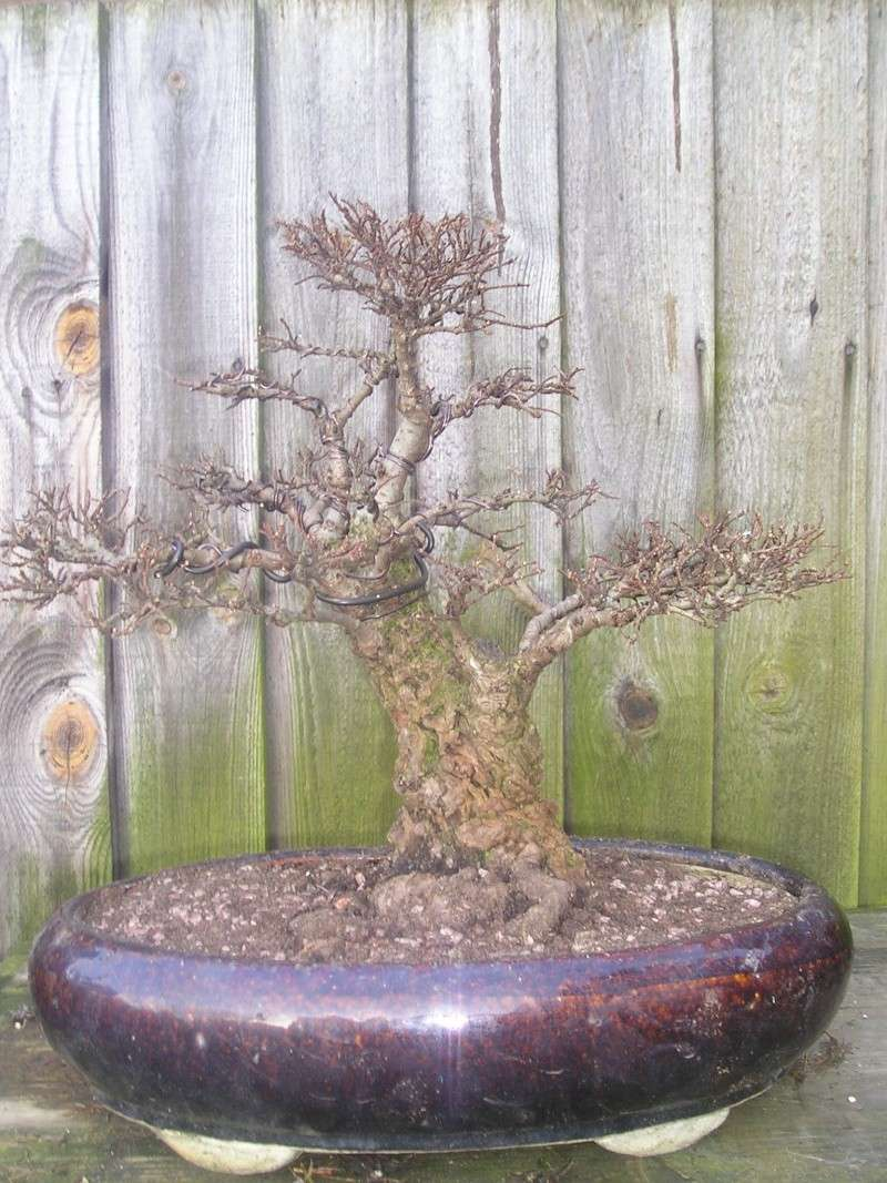 recently repotted cork bark elm 03210