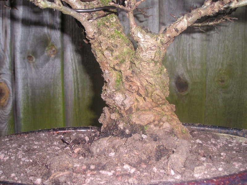 recently repotted cork bark elm 03310
