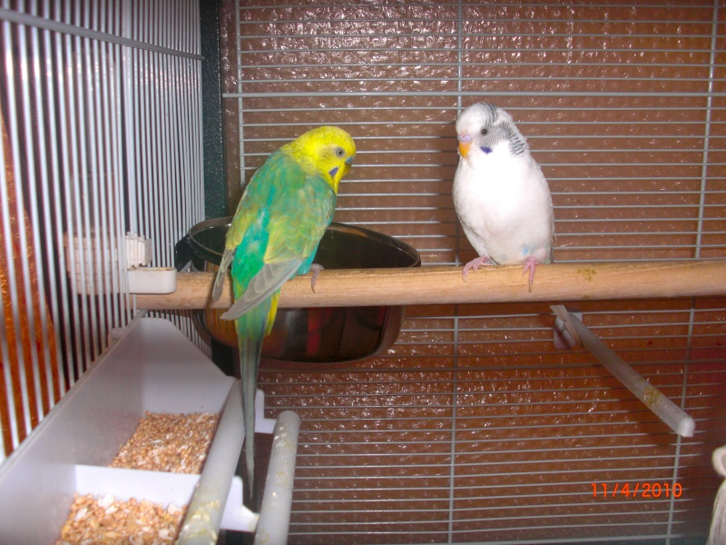 Photos de mes perruches Cimg0214