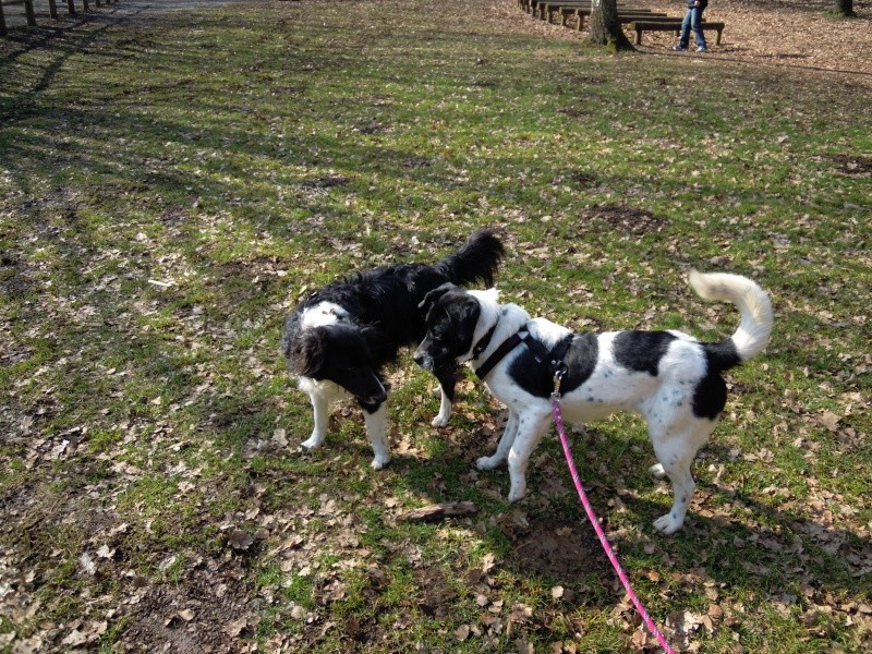 collie - Parrainage d'un chien ... Est ce un border collie ?? 03_03_11