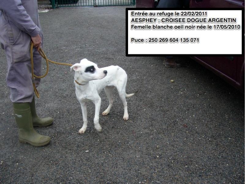 AESPHEY Croisée Dogue Argentin Aesphe10