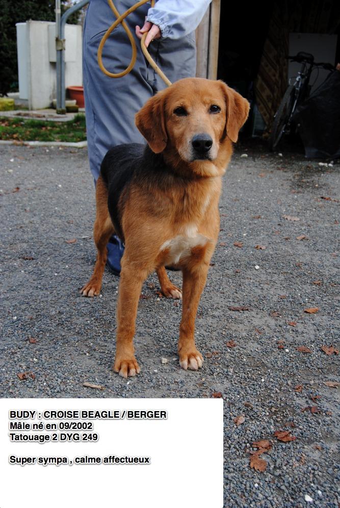 BUDY, croisé beagle/berger, 8 ans (16) Budy11