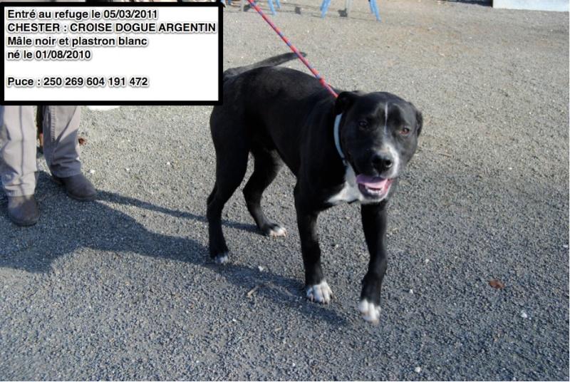 CHESTER Croisé Dogue Argentin noir et blanc en CA au 10/03/2011 Cheste10