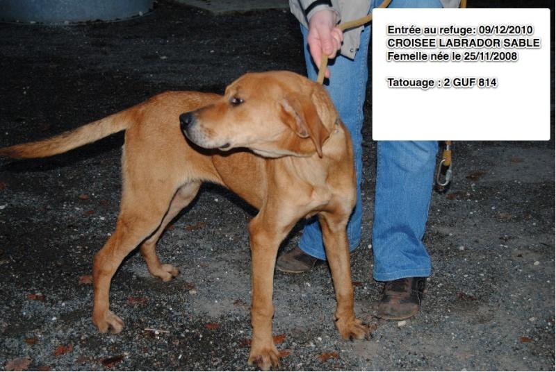 VAGABONDE / PEPITA Croisée Labrador  2GUF814 Croisa13
