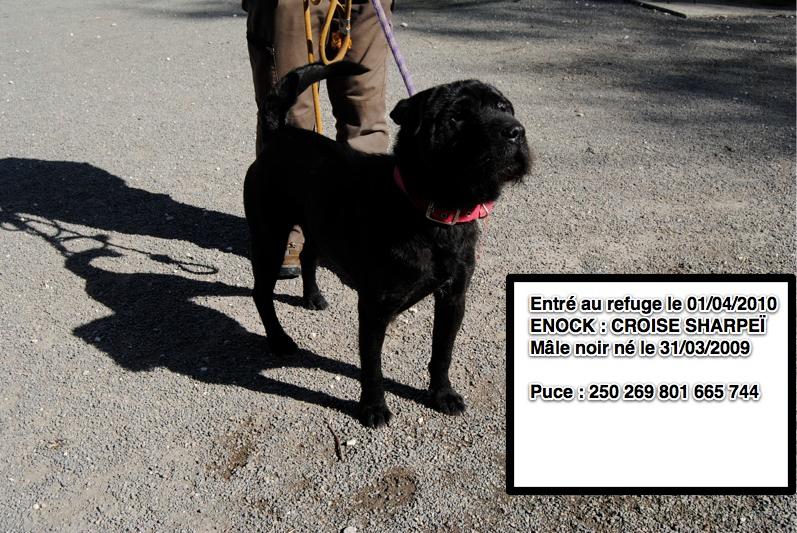 ENOCK Croisé Sharpeï 250269801665744 en CA le 28/03/2012 Enock10
