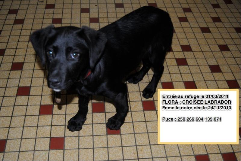 FLORA Croisée Labrador noire ==> PZ Flora10