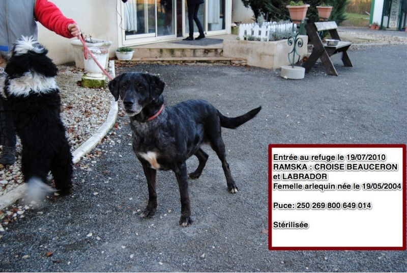 RAMSKA Croisée Beauceron / Labrador 250269800649014 Ramska10