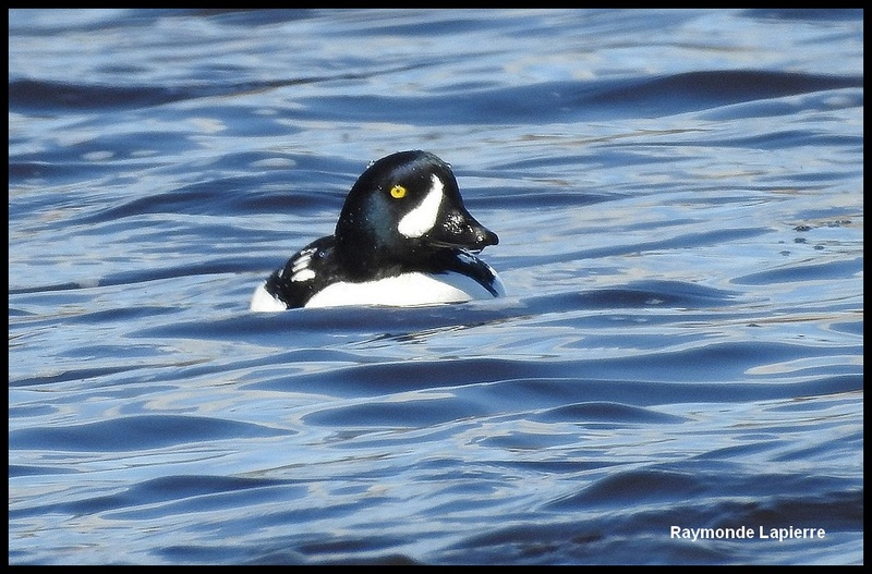 Garrot d'Islande mâle Dscn9718