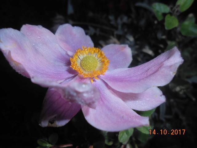 anemones du japon  - Page 4 Dscn4136