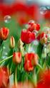 ТЮЛЬПАН  Flower20