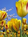 ТЮЛЬПАН  Tulips10