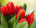 ТЮЛЬПАН  Tulips11