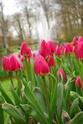 ТЮЛЬПАН  Tulips12