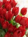 ТЮЛЬПАН  Tulips13