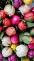 ТЮЛЬПАН  Tulips14