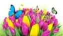 ТЮЛЬПАН  Tulips15