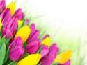 ТЮЛЬПАН  Tulips16