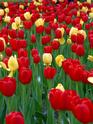 ТЮЛЬПАН  Tulips17