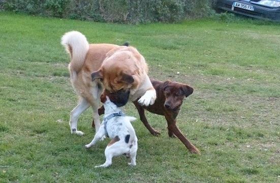 NIKO chien parfait, Jack Russel 5 ans 8/9 kg, région parisienne 23559410