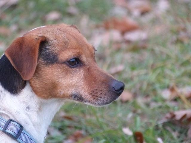 NIKO chien parfait, Jack Russel 5 ans 8/9 kg, région parisienne 23561810