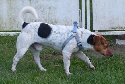 NIKO chien parfait, Jack Russel 5 ans 8/9 kg, région parisienne 23621511