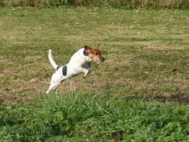 NIKO chien parfait, Jack Russel 5 ans 8/9 kg, région parisienne 23755010