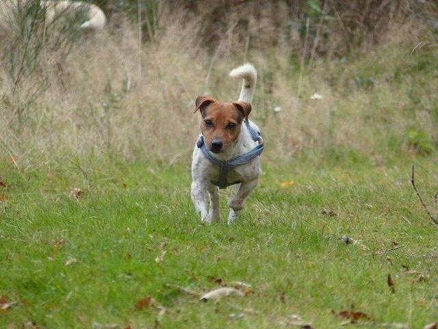 NIKO chien parfait, Jack Russel 5 ans 8/9 kg, région parisienne 23755510