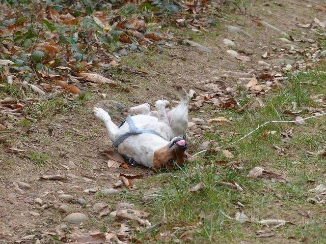 NIKO chien parfait, Jack Russel 5 ans 8/9 kg, région parisienne 23794710