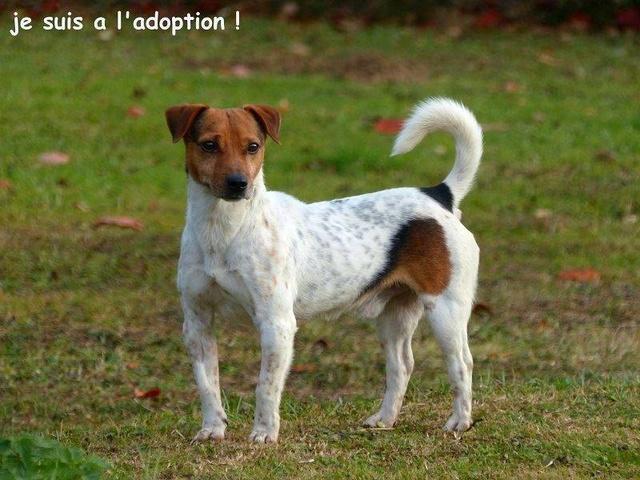 NIKO chien parfait, Jack Russel 5 ans 8/9 kg, région parisienne 23795910