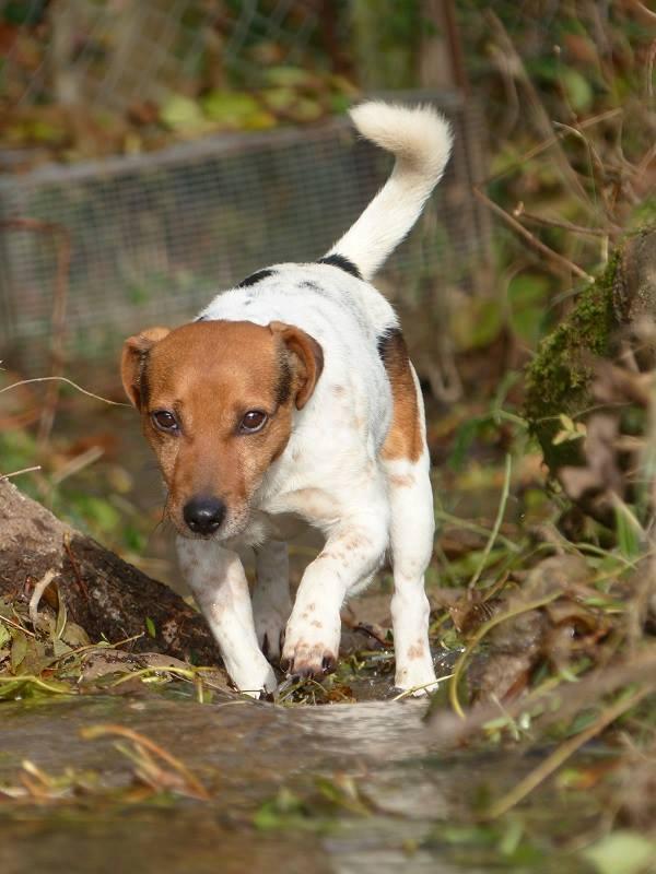 NIKO chien parfait, Jack Russel 5 ans 8/9 kg, région parisienne 23843510