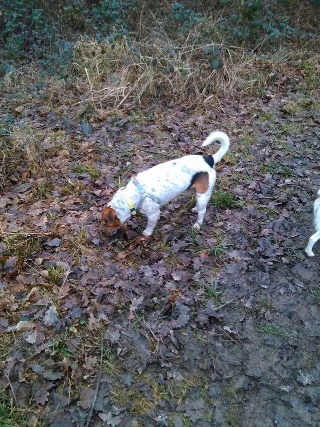 NIKO chien parfait, Jack Russel 5 ans 8/9 kg, région parisienne Img_2016