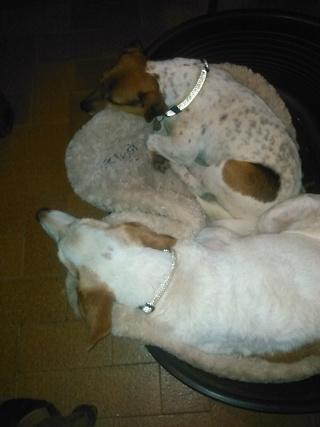 NIKO chien parfait, Jack Russel 5 ans 8/9 kg, région parisienne Img_2022