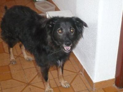 LEO, Ribercan, adopté après de nombreuses années de refuge, par sa fa espagnole Leo12310