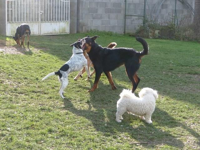 NIKO chien parfait, Jack Russel 5 ans 8/9 kg, région parisienne Niko_b10