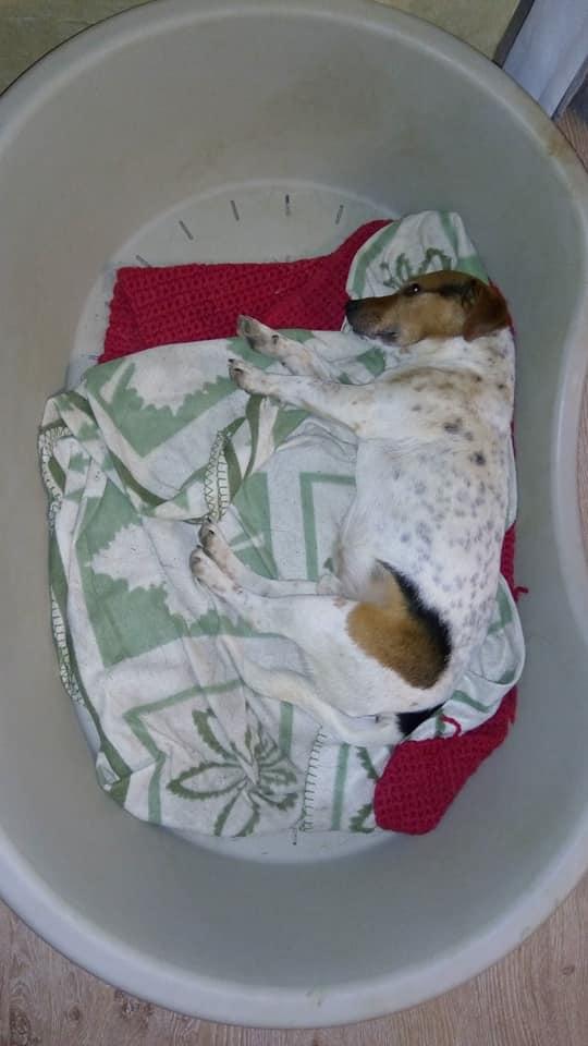 NIKO chien parfait, Jack Russel 5 ans 8/9 kg, région parisienne Niko_p10