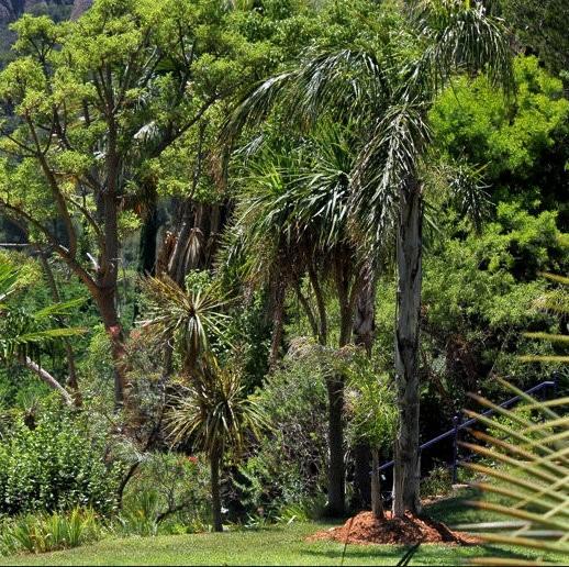 Cordyline australis 21983010