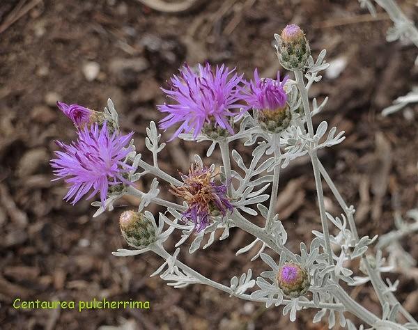 Psephellus pulcherrimus (= Centaurea pulcherrima) Dscn2610