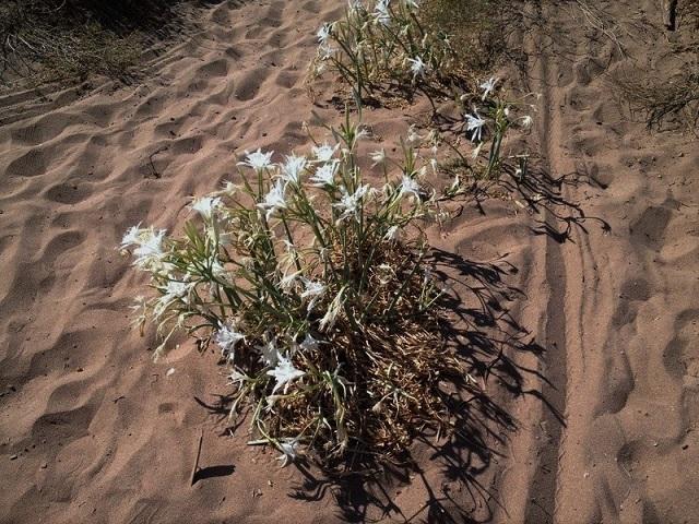 Pancratium maritimum - lis de mer, lis des sables  Image310