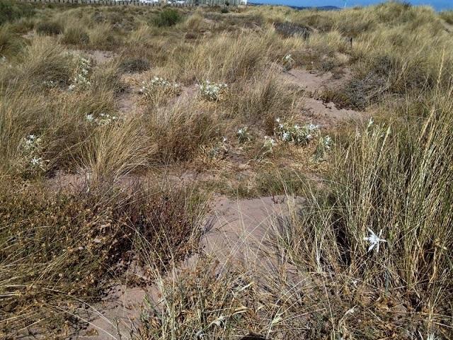 Pancratium maritimum - lis de mer, lis des sables  Image311