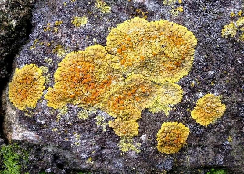 Caloplaca - le genre - caloplacas placodioïdes- lichen  Img_3311
