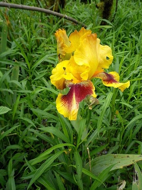 Iris 'Cerdagne' - Jean Segui 1989 - R.1998 Iris_v11
