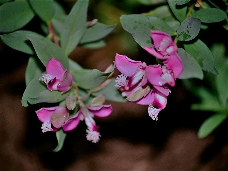 Polygala myrtifolia Polyga10
