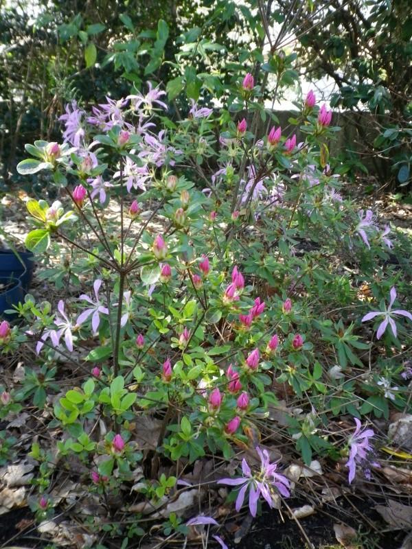Rhododendron macrosepalum et variétés  Rhodo_10