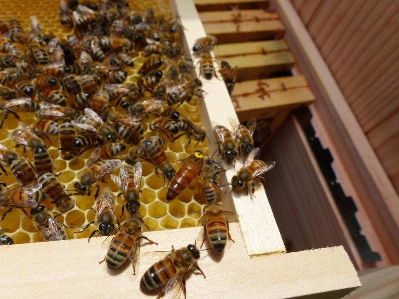VISITE 1 et VISITE 2 de la ruche samedi 5 et 12 mai 2018 à 14h P1060310