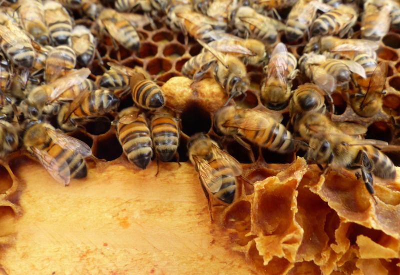 VISITE 1 et VISITE 2 de la ruche samedi 5 et 12 mai 2018 à 14h P1060313